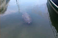 Manatees at the harbor