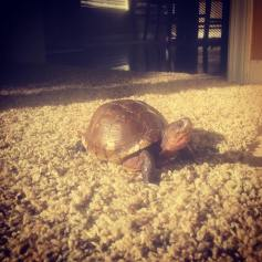 Larry the Turtle